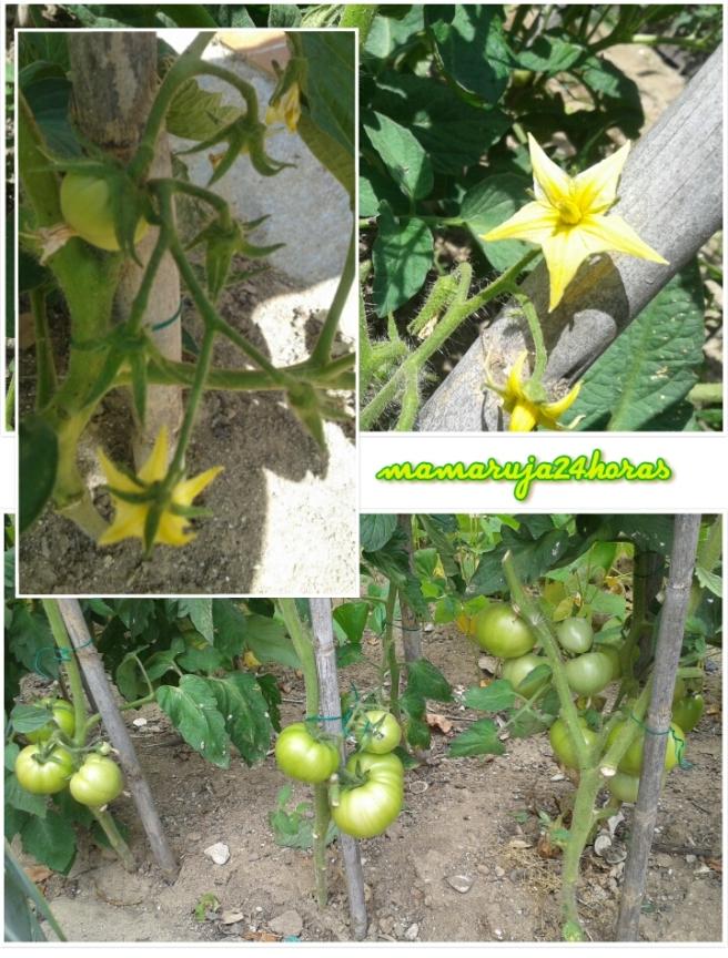 Progreso tomates